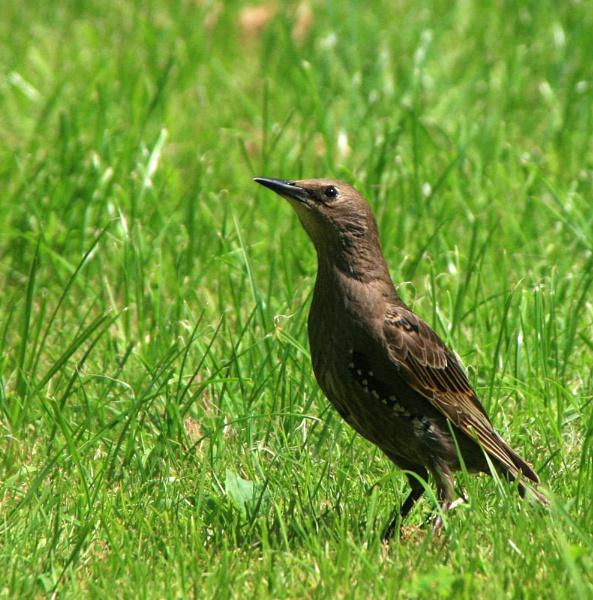 Starling by shelldud