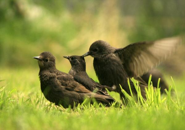 starling squabble by shelldud