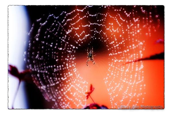 Garden Spider in Web by barry john