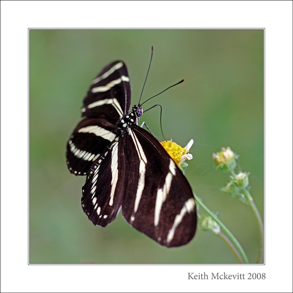 Butterfly by Keith-Mckevitt