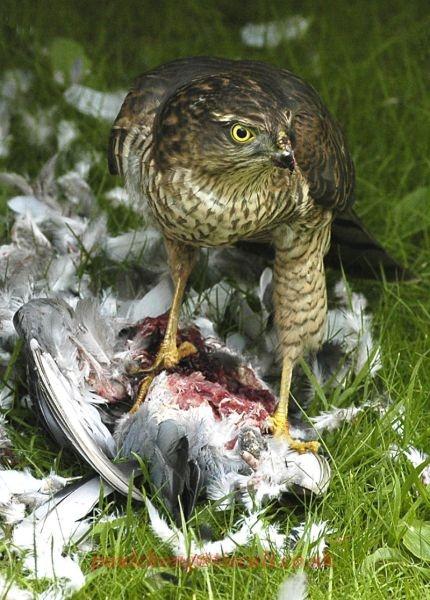 sparrowhawks visit by paul_chong