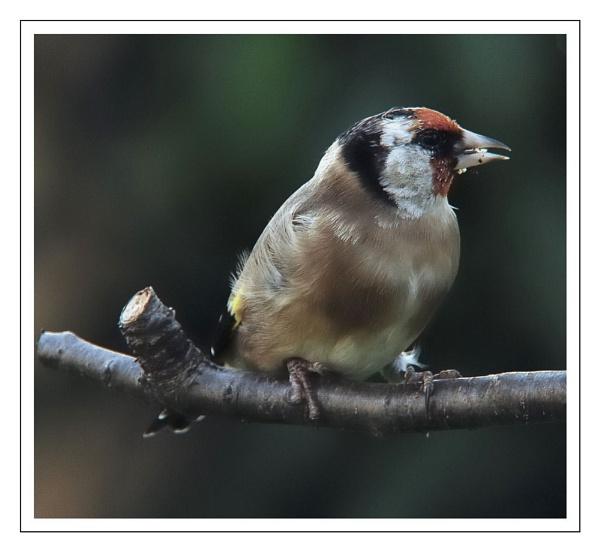 goldfinch by dden