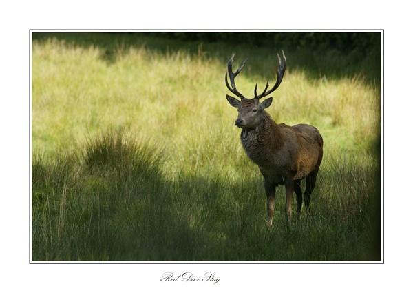 Red Deer Stag by wyatturp