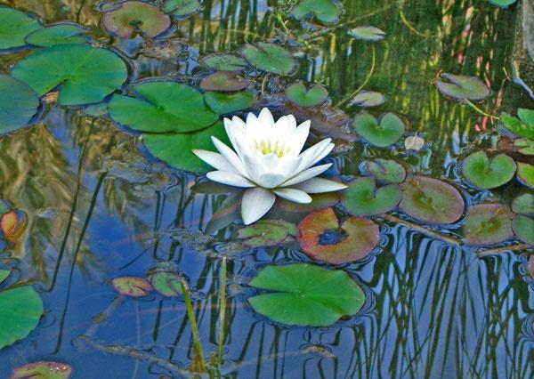 Lily Pond by AlexisM
