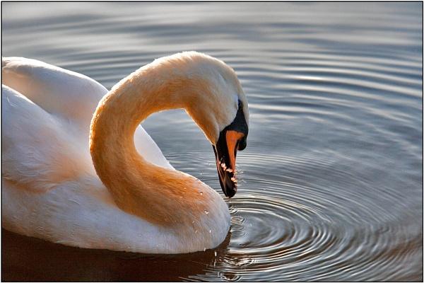 Swan with Loyalties by Mirjam