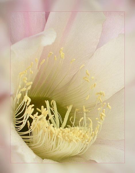 creamy cactus by CarolG