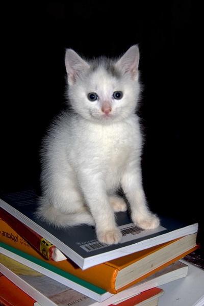 White kitten by Monradus