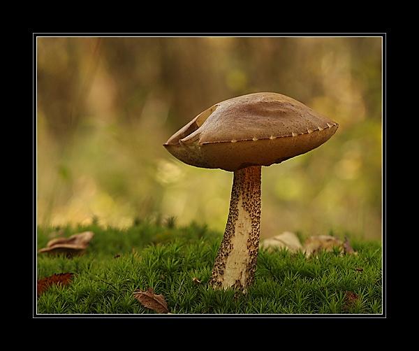 Brown Birch Bolete....? by Graham_P