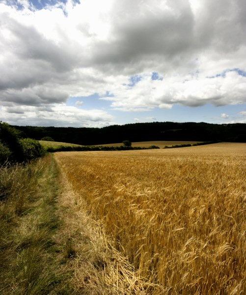 Summer Corn by Abaeron