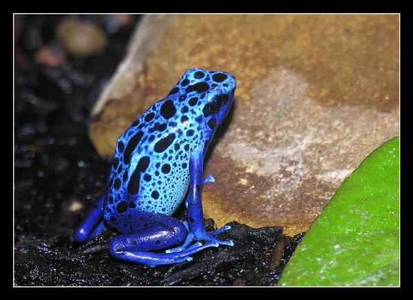 Poison Arrow Frog by Boagman65