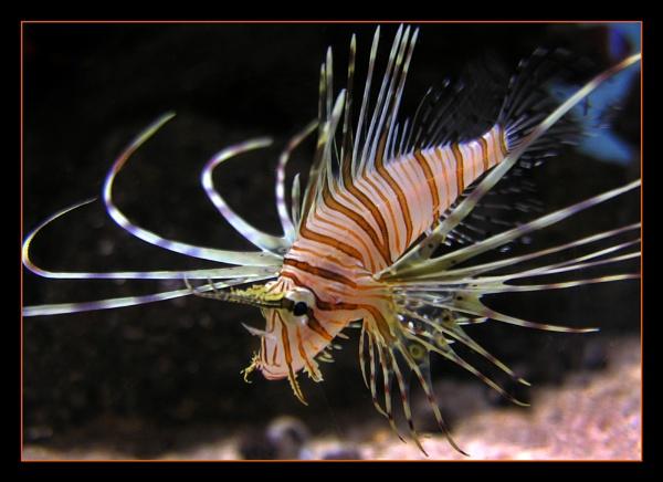 Lion Fish by Boagman65