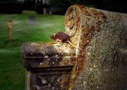 Churchyard Mice