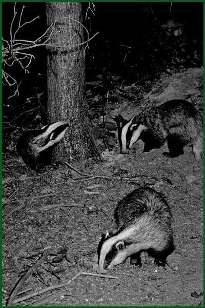 Badgers 02. by Badgerfred