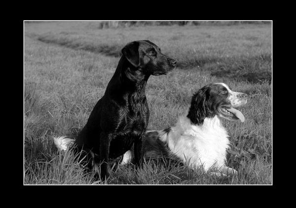 Fun gun dogs by paulraymondphotography