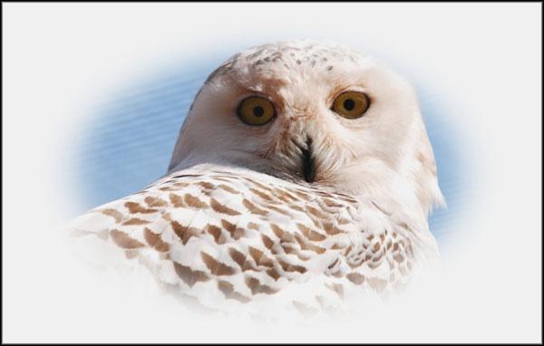 Owl by RAYMO