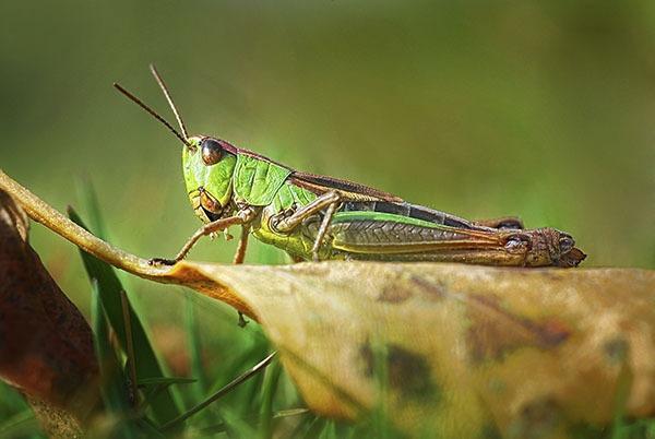 Medow Grasshopper? by fishing