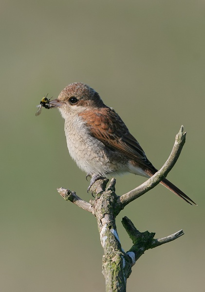 Red Backed Shrike with Bee by nigelpye