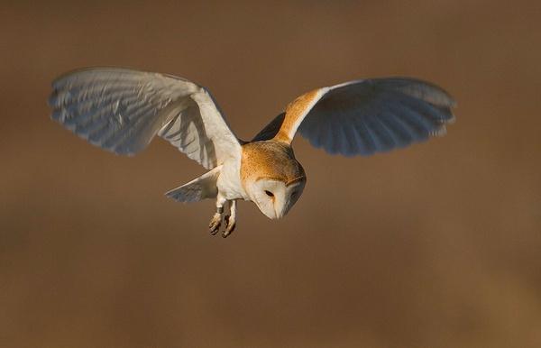 Barn Owl hovering by nigelpye