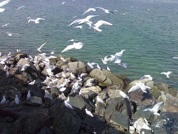 Seagulls by carylofarabia