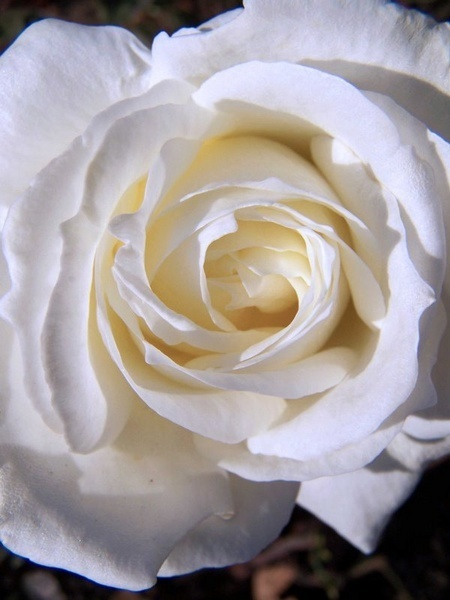 White Flower by crispf