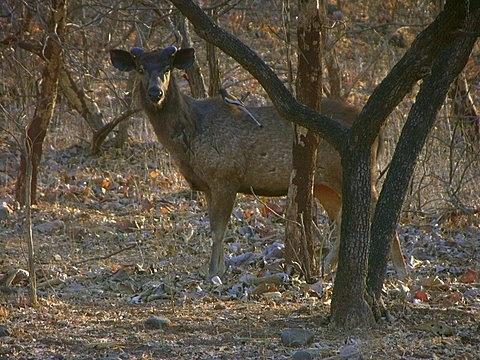 Sambar deer by Tigress