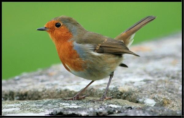 Cheeky Robin!!! by jove