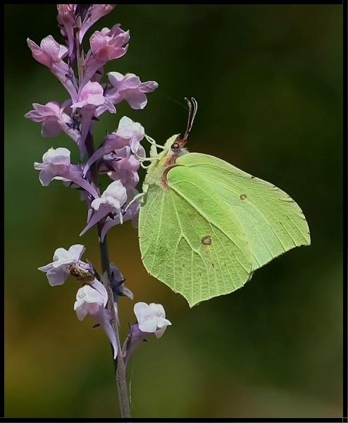 Brimstone butterfly by jove