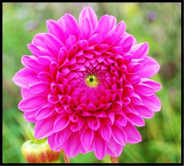 "Dahlia \"" The Flower\'s Eye\"" by mrsvee"