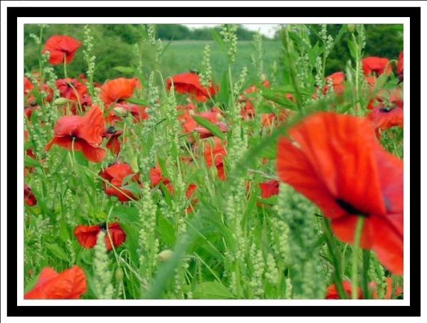 poppy field by Mynett