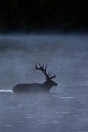 Elk In The Mist