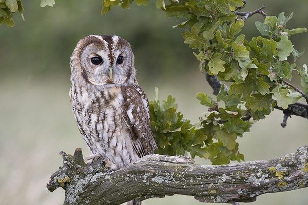 OWL by samoyed