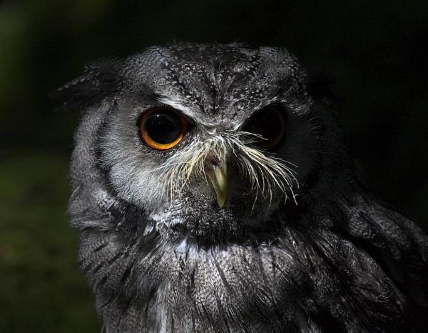 Scops Owl by Karrol