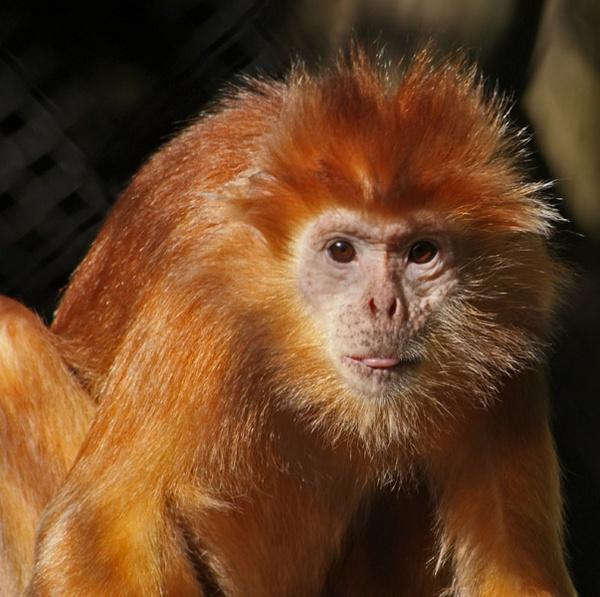 Cheeky Monkey by tallishd