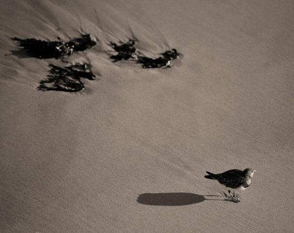 Sand Piper by paul_indigo