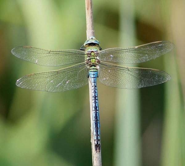 Emperor Dragonfly by GlaSsDraGon