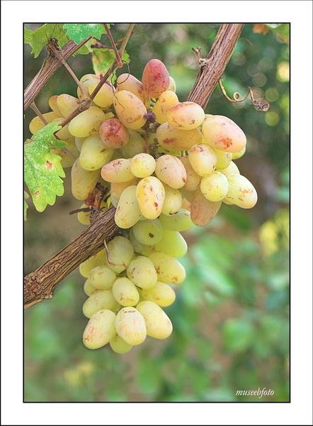 grape by museebfoto