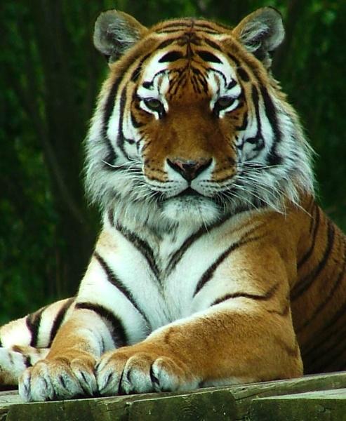 Tiger by NeilJD