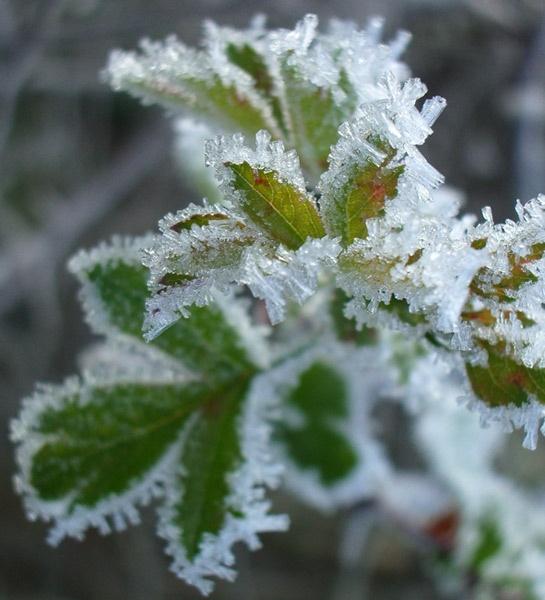 Icy Leaf by AlexisM