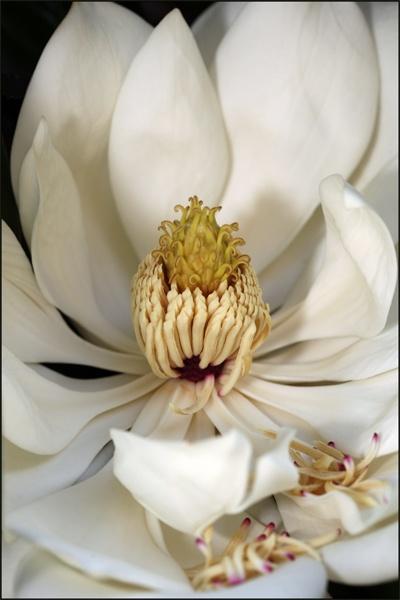Magnolia by brianhaslam