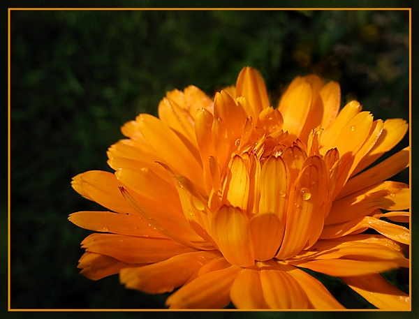 Marigold by Sylviwhalley