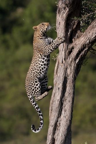 Leopard climbing a tree by Scorpio74