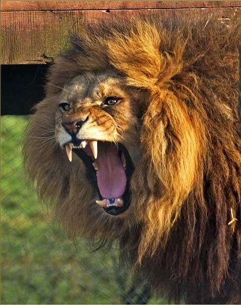 Lion by Lou_C