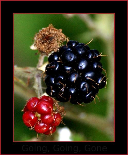 Blackberries by mikeyjuggler