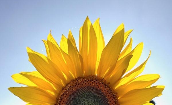Sunflower rise by Birdseye