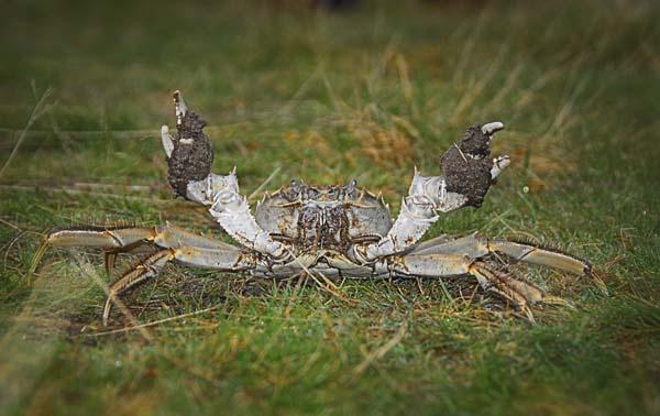 Mitten Crab? by fishing
