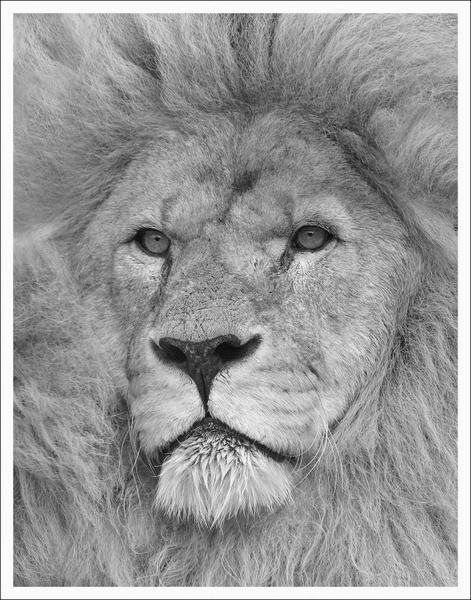 lion by clintnewsham