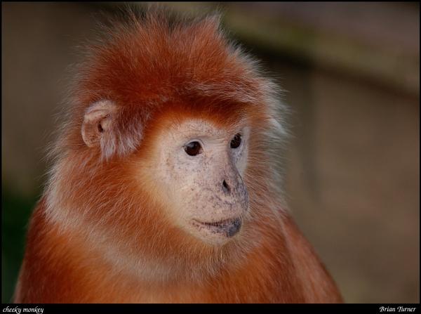 cheeky monkey by ducatifogarty