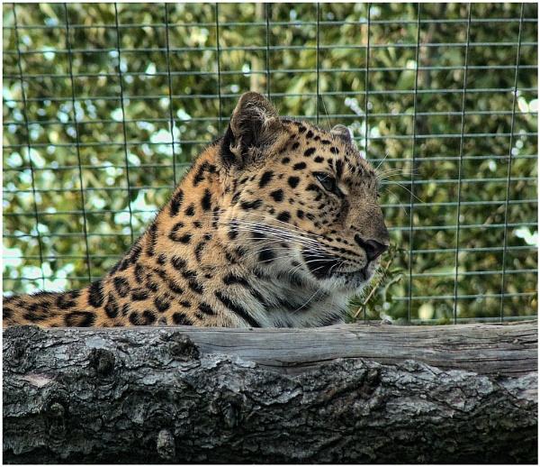 big cat by ducatifogarty