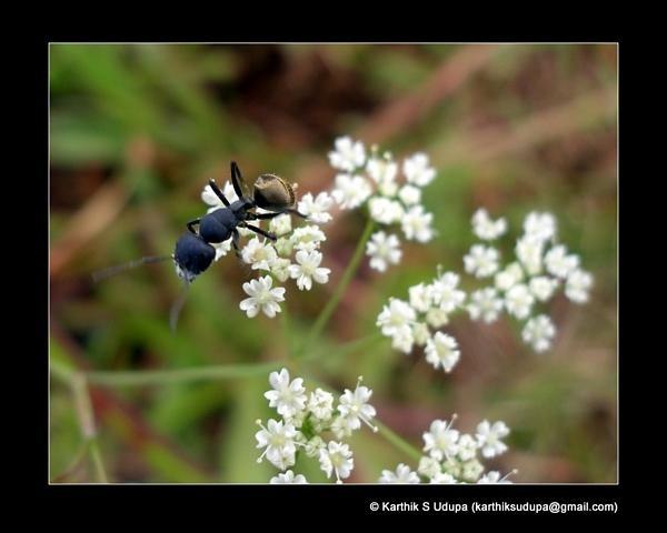 Ant by KarthikUdupa