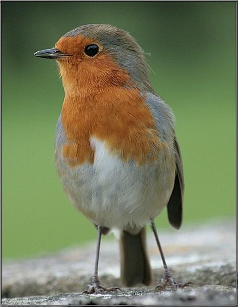 Cocky Robin!!! by jove